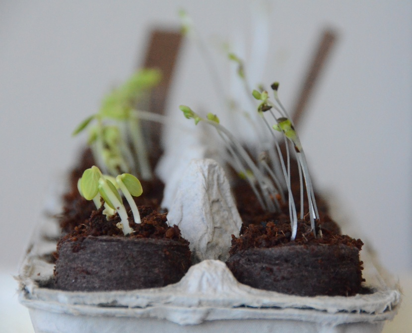 Cucumber and lettuce seedlings
